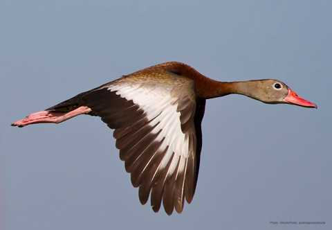 black bellied whistling duck - A Picture Of A Duck